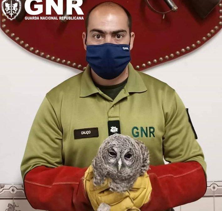 Évora: GNR resgata coruja-do-mato juvenil